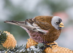 Adult Gray-crowned Rosy-Finch in a pine tree