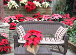 Poinsettias on a patio at Christmas time.