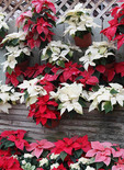 Patio wall of Poinsettias at the Holidays