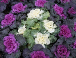 Purple flowering  Kale with blooming white cabbage