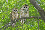 Adult Spotted Owls in Huachuca Mountains, Cochise County, ARIZONA,
