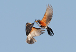 Two robins fighting in the air