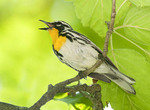 YELLOW THROATED WARBLER SINGING