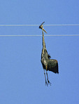 GREAT BLUE HERON CAUGHT IN HIGH TENSION WIRE