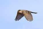Say's Phoebe flying over the Chiricahua Mountains, Cochise County, Arizona