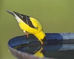 American Goldfinch drinking at a birdbath