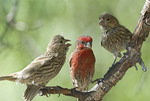 Three House Finches on a branch