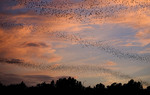 Sun set, World's largest urban bat colony, Austin, Texas, Congress Avenue Bridge, USA,