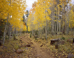 Autumn along the Weatherford Trail; San Francisco Peaks Wilderness, Arizona; aspens in autumn foliage;