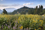 Wildflowers at sunrise along Lassen Peak Road, Lassen Volcanic National Park, Mount Lassen, California