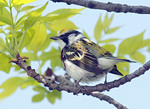 Chestnut sided Warbler on a tree branch