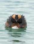 HORNED GREBE in the water