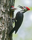 PILEATED WOODPECKER Drycopus pilatus