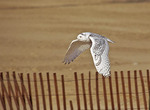 Snowy Owl flying over beach