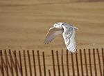 Snowy Owl flying over beach