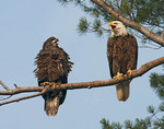 Mature and immature Bald Eagles on a branch