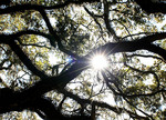 Sun coming thru branched of moss covered tree