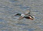 Male Northern Shoveler in flight