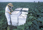 Bee keeper tending the bees in the field