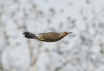YELLOW SHAFTED FLICKER  FLYING