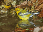 BLUE WINGED WARBLER IN WATER