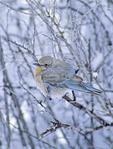 Female Mountain Bluebird in the winter