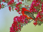 SCARLET TANAGER IN FLOWERING TREE