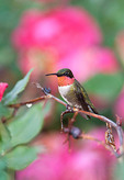 Ruby throated Hummingbird in Knockout Roses