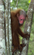Red Uakari Monkey, Peruvian Amazon (captive specimen)