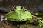 Amazon Horned Frog in Peruvian Amazon. Also known as the