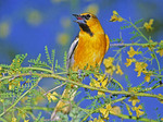 BULLOCK'S ORIOLE  SINGING