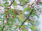 SCARLET TANAGER PERCHED IN SPRING BLOOMING TREE