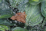 Hostas with bronw leaf among dew or water droplets