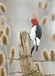Red-headed Woodpecker on Fence Post