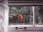 Northern Cardinal looking at its own reflection in a window