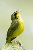 Singing Kentucky Warbler