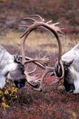 Reindeer clash with antlers