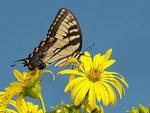TIGER SWALLOWTAIL Papilio glaucus
