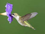 RUBY THROATED HUMMINGBIRD  AT A FLOWER