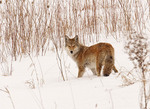 COYOTE IN THE WINTER