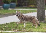 Coyote in a residential neighborhood