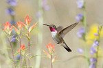 Broad-tailed Hummingbird in Penstemon and Indian Paintbrush
