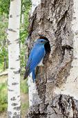 Mountain Bluebird at Nest Cavity in Aspen Tree