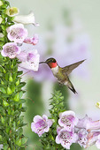 Ruby throated Hummingbird in Foxglove
