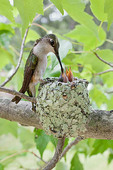 Ruby-throated Hummingbird at nest feeding young