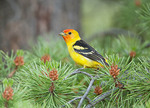 Western Tanager in Pine Tree