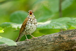 Wood Thrush singing