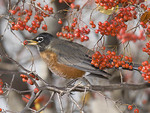 AMERICAN ROBIN WITH BERRY