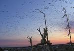 Ducks in flight over corn field at dusk