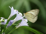 Tropical White butterfly